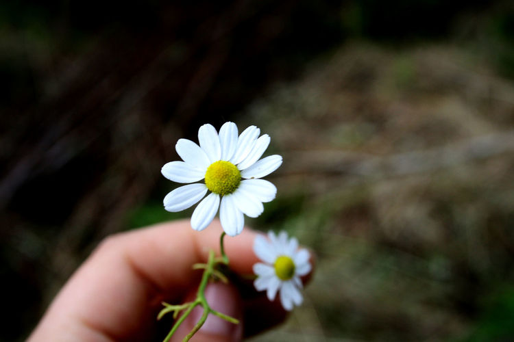 Oo papatya.. Flower Papatya Love Or Not