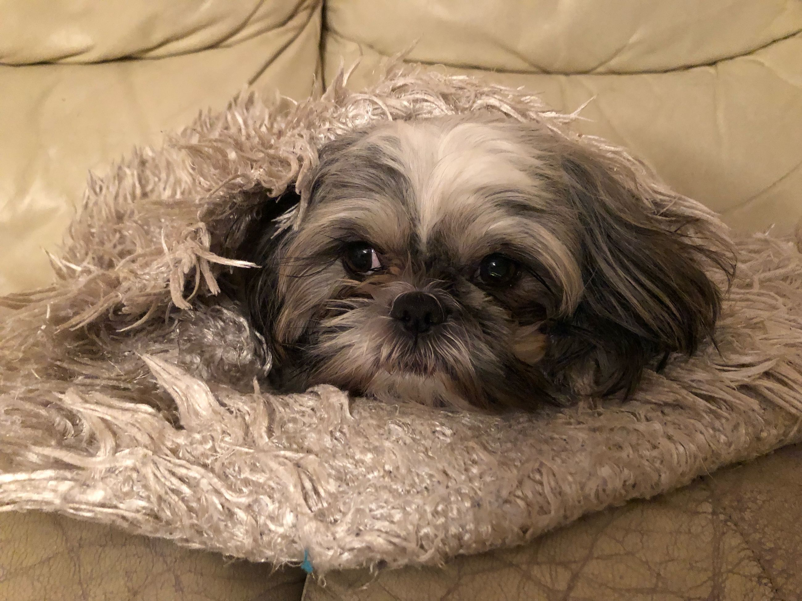 one animal, dog, animal themes, canine, domestic, pets, animal, looking at camera, domestic animals, portrait, relaxation, indoors, mammal, furniture, vertebrate, lap dog, small, no people, lying down, home interior, shih tzu, animal head
