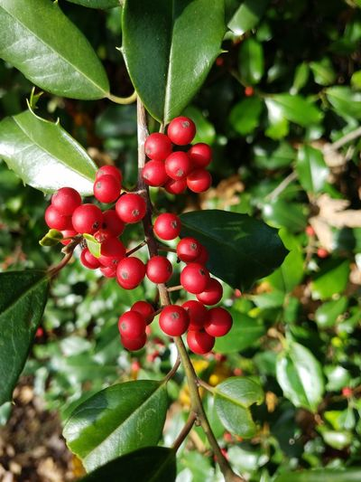 Red Leaf Growth Freshness Close-up Tree Day Plant Green Color Outdoors Nature Branch