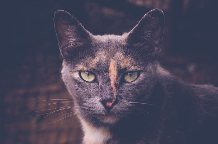 Animal Themes Barn Cat Cat Close-up Day Domestic Animals Domestic Cat Feline Feral Cat Fighter Looking At Camera Mammal Nature No People One Animal Outdoors Pets Portrait Scars Whisker