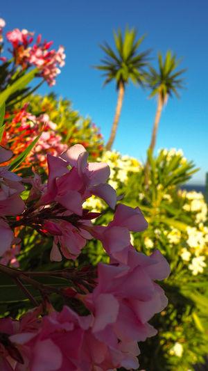 Colours of the summer Oceanside EyeEmNewHere Eyeemphotography EyeEm EyeEm Nature Lover Flower Flower Head Palm Tree Sky Plant Blooming Petal