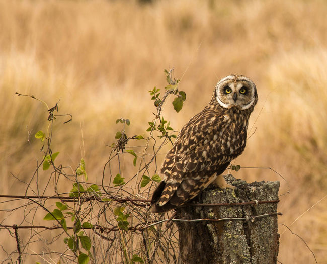 Animal Themes Animal Wildlife Animals In The Wild Bird Bird Of Prey Day Fence Fence Post Fences Nature No People One Animal Outdoors Owl Owl Art Perching Short Eared Owl