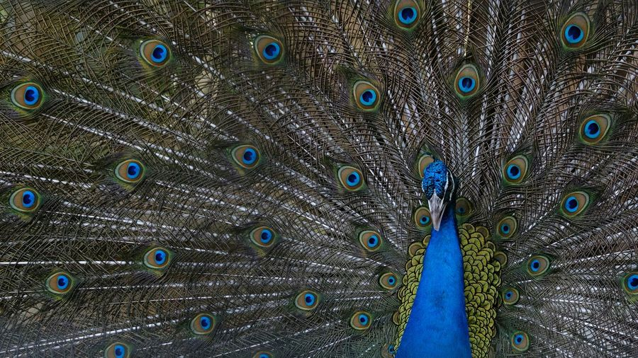 Full frame shot of peacock dancing with fanned out feathers