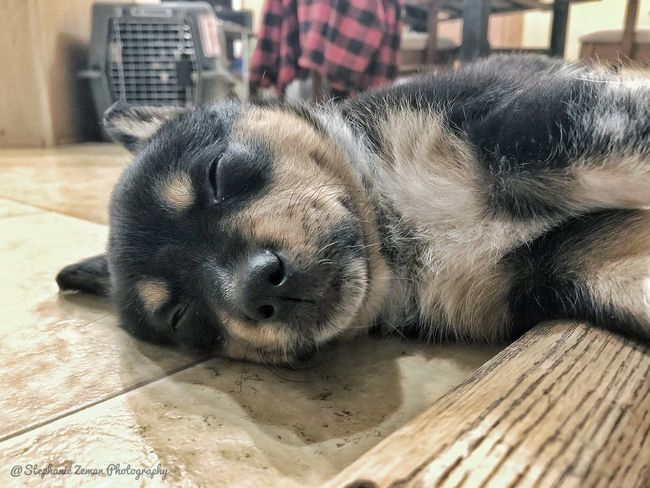 All Tuckered Out Pet Photography  Puppy One Animal Animal Themes Mammal Animal Pets Dog Canine Domestic Animals Domestic Relaxation Indoors  Sleeping Lying Down Resting Close-up