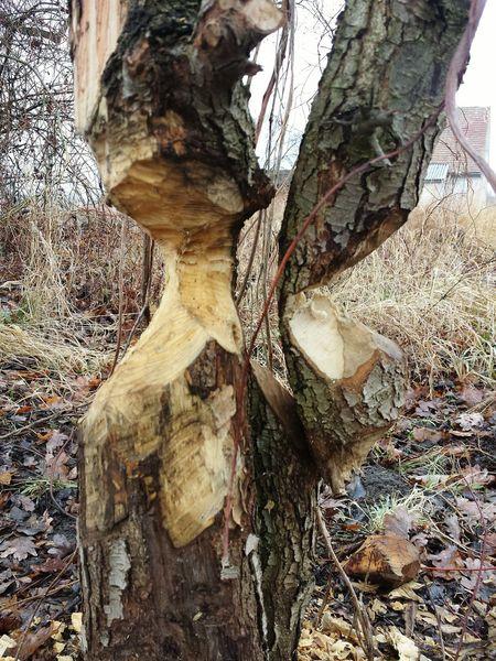 Outdoors Wood - Material Tree Trunk Wood Art Beaver Work Workplace Art, Drawing, Creativity EyeEm Best Shots - Nature Nature Photography Oderbruch