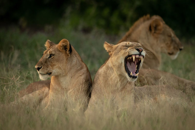 Lion family resting at national park