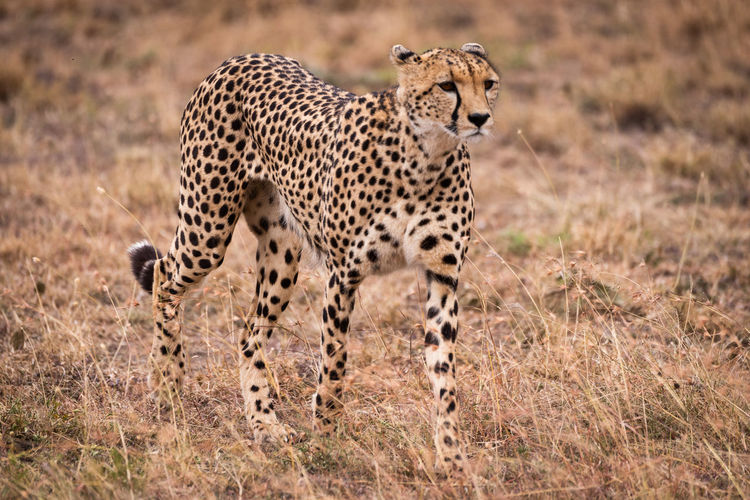 Cheetah walking on grassy field