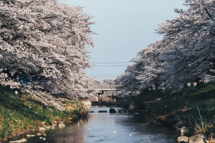Sakura Tree Water Plant Nature Sky Architecture Built Structure Growth Day Reflection Beauty In Nature River No People Outdoors Connection Flower Building Exterior Tranquility Waterfront Springtime Cherry Blossom Cherry Tree Sakura Sakura Blossom Sakura Trees