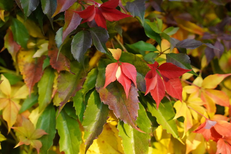 Close-up of red leaves on plant during autumn