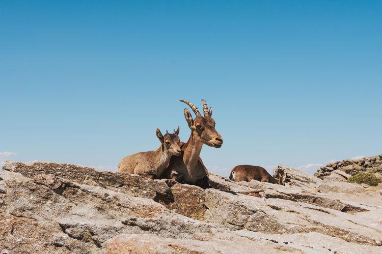 View of deer on rock against clear blue sky
