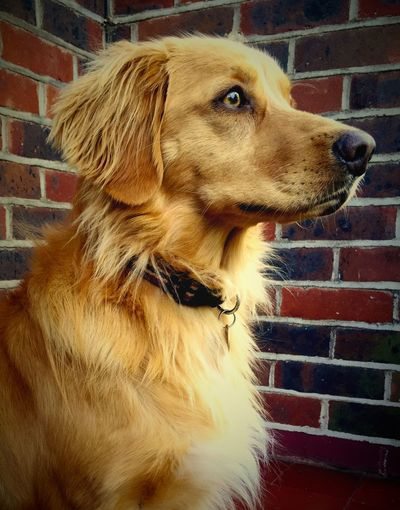 Our fab Toller First Eyeem Photo Dogs Dog❤ Dog I Love My Dog Dog Love Dogoftheday My Dog Nova Scotia Tolling Retriever