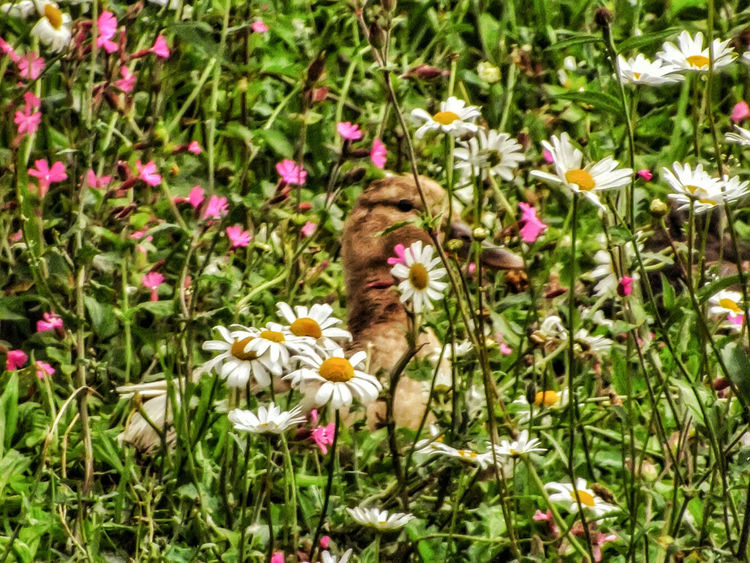 Nearly miss this Duck hiding in the grass Hdr_captures Close-up Hdr Edit Close Up Photography EyeEm Best Shots - HDR Malephotographerofthemonth Fujifilm Nature Photography Nature On Your Doorstep Animals In The Wild Wildlife And Nature Birds Of EyeEm  Ducks Birds_collection Birds Fine Art Photography Nature And Wildlife By Tony Bayliss