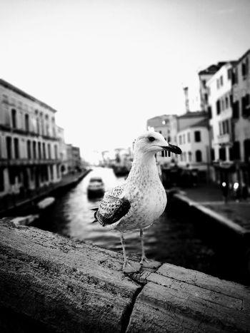 Blackandwhite Gabbiano A Riposo Venezia Bokeh Photography Bokeheffect Outdoors Building Exterior Animal Wildlife Animals In The Wild