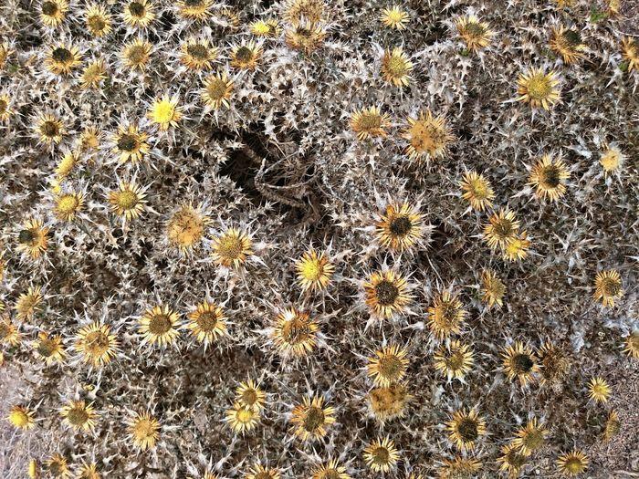 Carlina corymbosa (Yellow Cardoon) native flower, of the Berlengas Archipelago, Portugal Nature Beauty In Nature Eyeemphoto Cardoon Yellow Flower Native Archipelago Portugal Peniche Berlengas