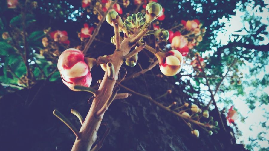 Tree Fruit Branch Nature Growth Outdoors Day Plant Freshness Low Angle View Leaf Red Climbing Tree Trunk Flowers