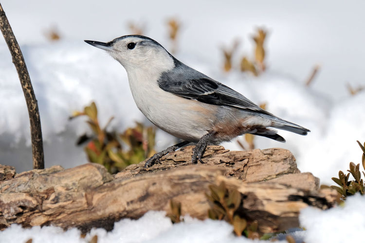 Close-up of bird perching on wood in winter