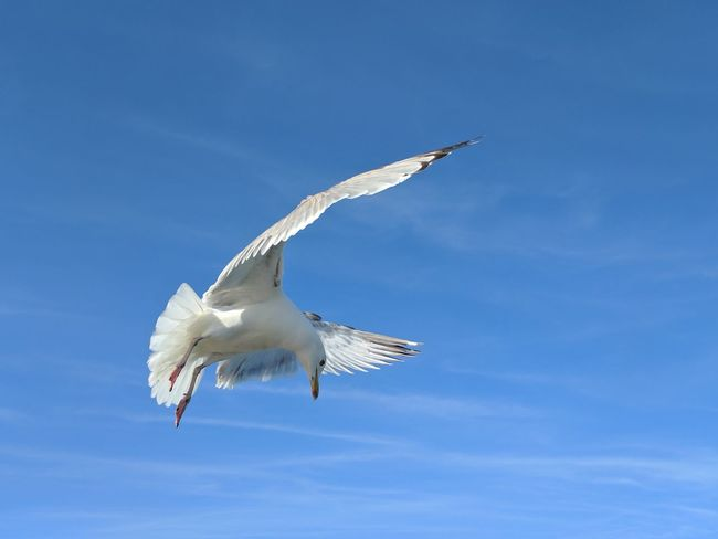 Flying Blue Sky Spread Wings Bird Animal Wildlife One Animal Outdoors Nature Day No People Google Pixel Mobilephotography Sea Gull Coast Seaside EyeEm Nature Lover EyeEm Best Shots