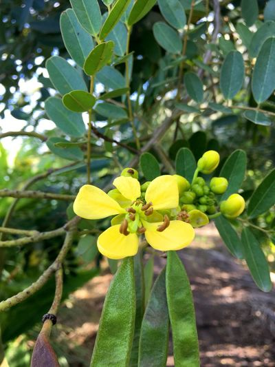 Cassia Siamea Herb Leguminosae Natural Nature Senna Siamea Thai Copper Pod Beauty In Nature Bloom Blooming Bud Cassod Tree Close-up Day Flora Floral Flower Flower Head Foliage Fragility Freshness Green Color Growth Healthy Herbal Leaf Leaves Nature No People Outdoors Petal Plant Tree Yellow
