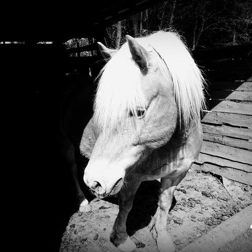Mein pferd, nico ist Derbeste Haflinger Derwelt ❤❤❤ Pferde Relaxing Taking Photos Meine Süßen Deutschland Waldbröl Langeweile #pur