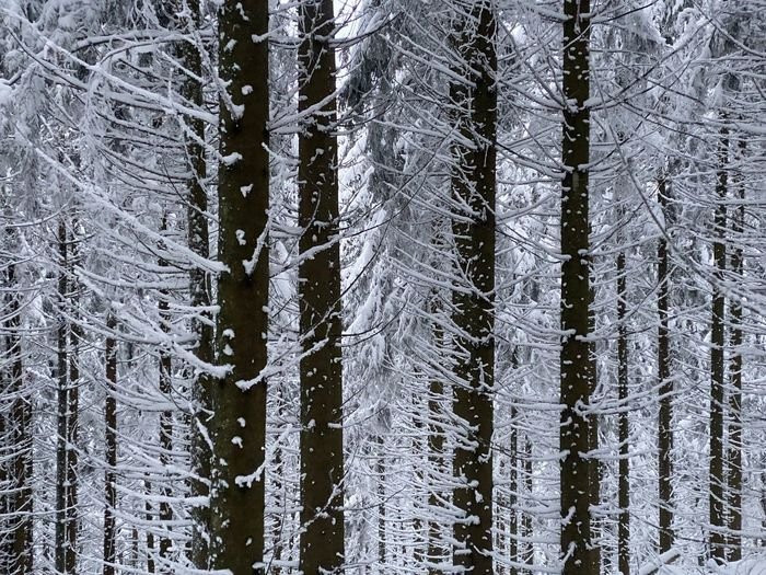Full frame shot of pine trees in forest during winter