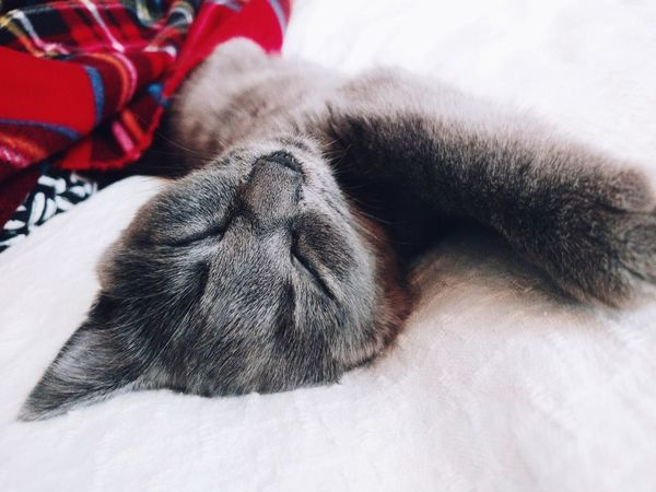 sleeping kitty Grey Gray British Shorthair Sleep Sleeping Pur Pur Pur Meaw 😚 Kitty Kitten Cat Indoors  One Animal Mammal Close-up Winter No People Animal Themes Pets