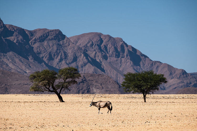 Oryx symmetry in namib desert