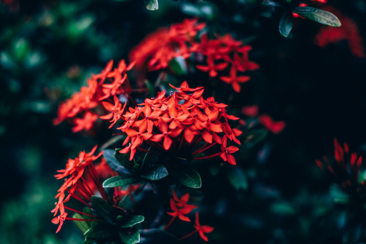 Beauty In Nature Blooming Bunch Of Flowers Bush Close-up Contrast Copy Space Backgrounds Flower Flower Head Fragility Freshness Gardening Green Color Growth Home Ixora Ixora Coccinea Medicinal Nature Outdoors Plant Red Selective Focus Shrub My Best Photo Springtime Decadence