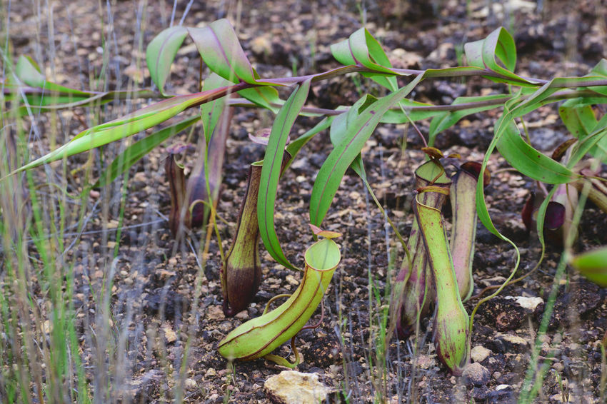 Animal Themes Insect Nature Plant No People Green Color Animals In The Wild Outdoors Close-up Day Kantong Semar Nature_collection Pitcher Plants Pitcher Plant Nephentes Pitcherplant Nature Growth Plant Themes Beauty In Nature Naturelover Nature Photography Freshness Leaf