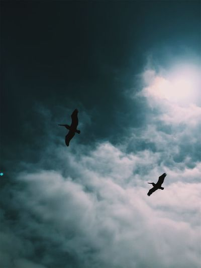 Animal Animal Themes Animal Wildlife Animals In The Wild Bird Cloud - Sky Flight Flying Freedom Low Angle View Mid-air Nature No People Ominous One Animal Outdoors Silhouette Sky Spread Wings Transportation Vertebrate