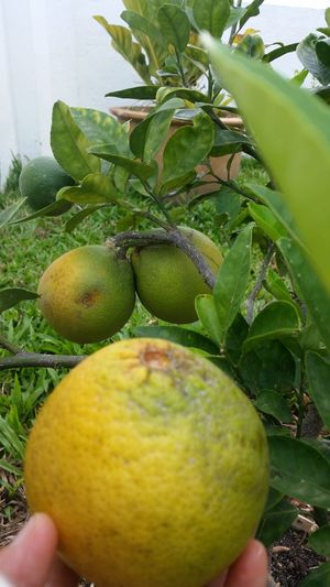 Pluck by BB Fruit Freshness Growth Green Color Tree Healthy Eating Food Juicy Leaf Agriculture Food And Drink Close-up Human Hand Branch Outdoors Day Human Body Part Grapefruit Nature People