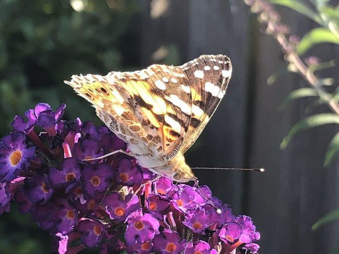 Vlinder Animal