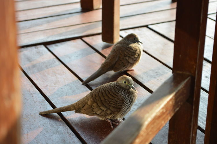 Animal Themes Animal Wildlife Animals In The Wild Bird Budgerigar Day Mourning Dove Nature No People One Animal Outdoors Perching Pets Sparrow Wood - Material