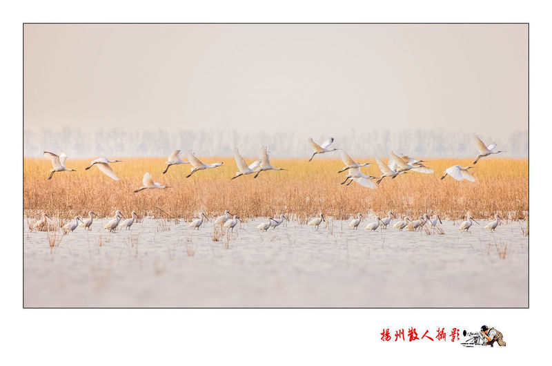 白琵鹭生境 Flamingo Bird Water Flying Flock Of Birds Colony Sky