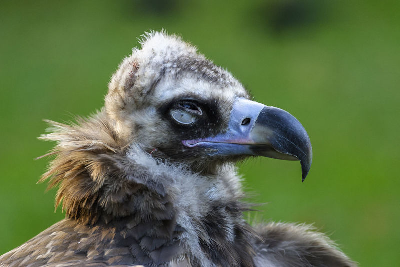 Ugly vulture with eyes closed