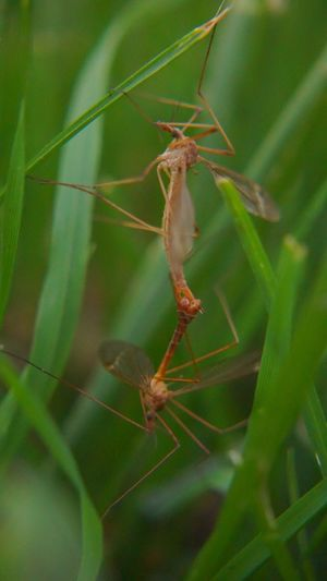 Insect Photography Animal Themes Insect Animals In The Wild Close-up No People Nature Plant Animal Wildlife Green Color Insects  Grass Mosquito Eater Mosquito In The Wild Full Length Mating Bug Outdoors Animal Leg Day Nature Antennas Long Legs Bug Love