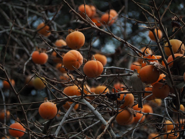 Bird In A Tree Branch Fruit Nature No People Orange Fruits