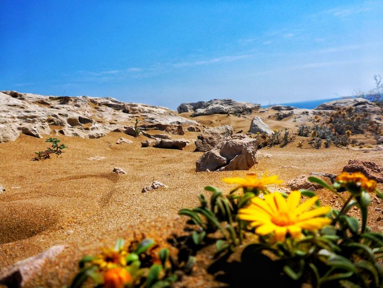 EyeEmNewHere Clear Sky Sand Dune Flower Outdoors Beauty In Nature Calblanque Paint The Town Yellow