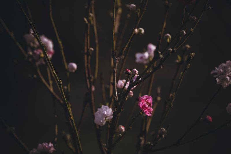 Flowering branches Flower Plant Growth Flowering Plant Fragility Beauty In Nature Vulnerability  Close-up Focus On Foreground Freshness No People Selective Focus Nature Bud Pink Color Blossom Outdoors Branch Botany Tree