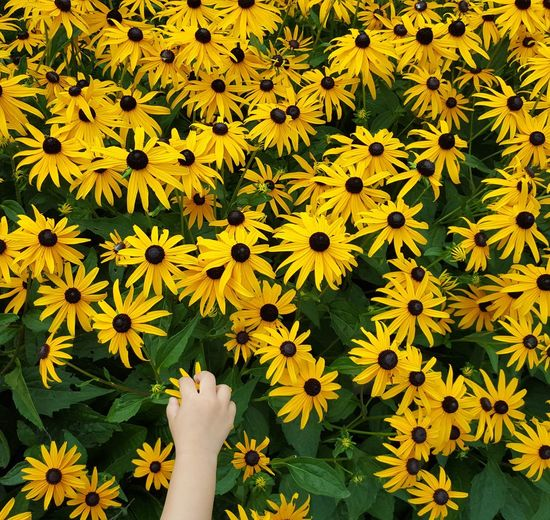 Cropped Hand Of Person Holding Black-Eyed Susan At Field