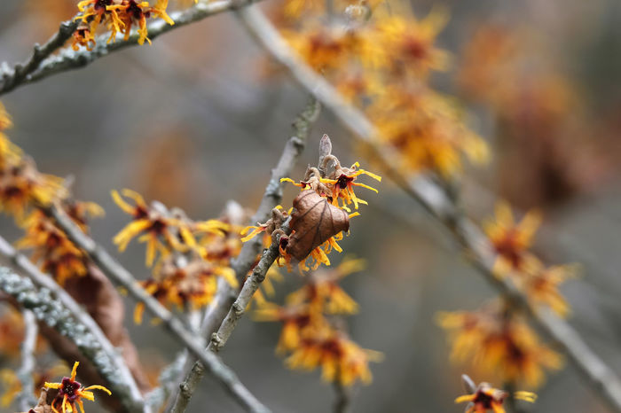 Blühende Zaubernuss,Germany Beauty In Nature Blüte Branch Close-up Day Flower Focus On Foreground Fragility Freshness Growth Hamamelis Nature No People Outdoors Plant Tree Zaubernuss