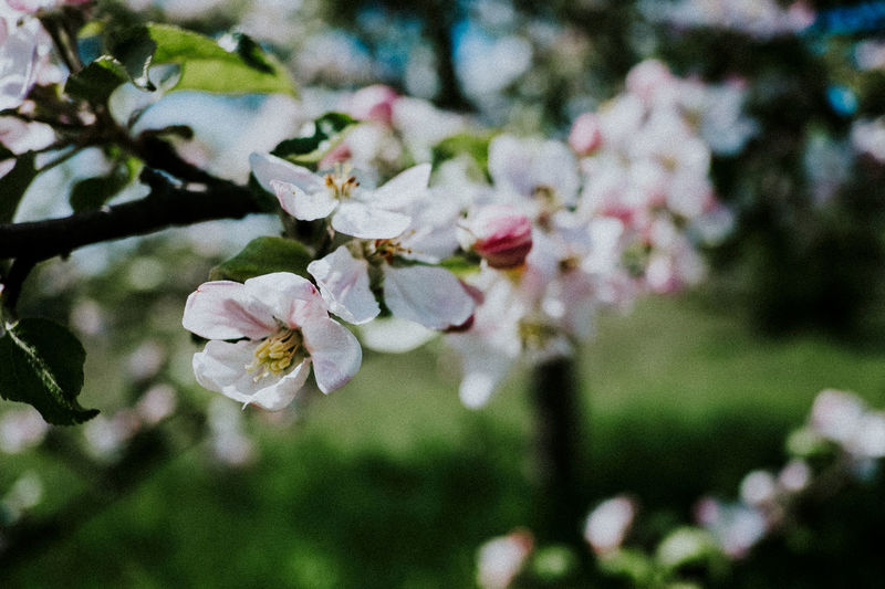 Apple Blossom Beauty In Nature Blooming Blossom Botany Branch Cherry Blossoms Close-up Day Flower Focus On Foreground Fragility Freshness Green Growth Nature No People Outdoors Petal Spring Time Springtime Tree Twig White Color