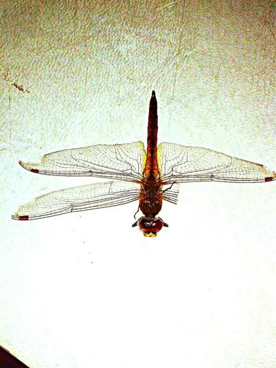 Insect Dragonfly