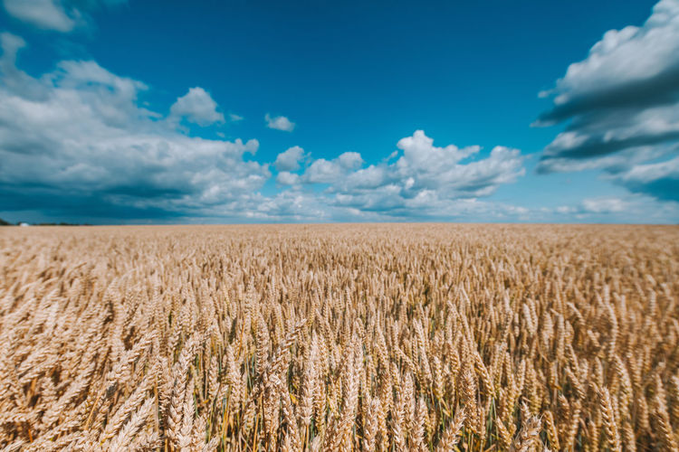 View of stalks in field against cloudy sky