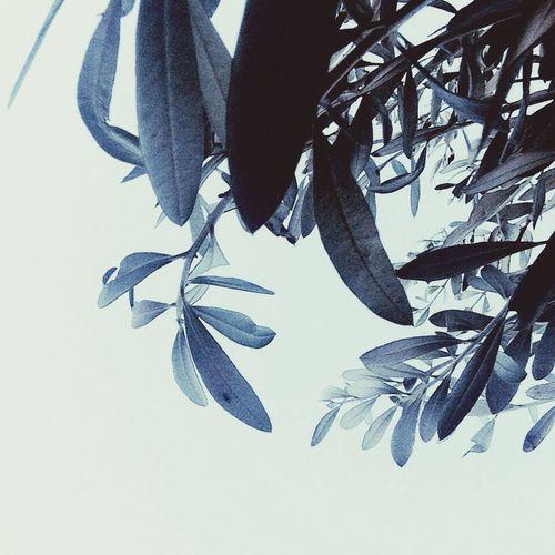 Olive Tree Leavesporn