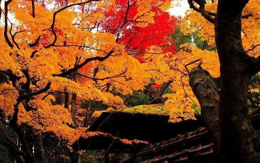 京都 紅葉🍁 Traveling Autamn