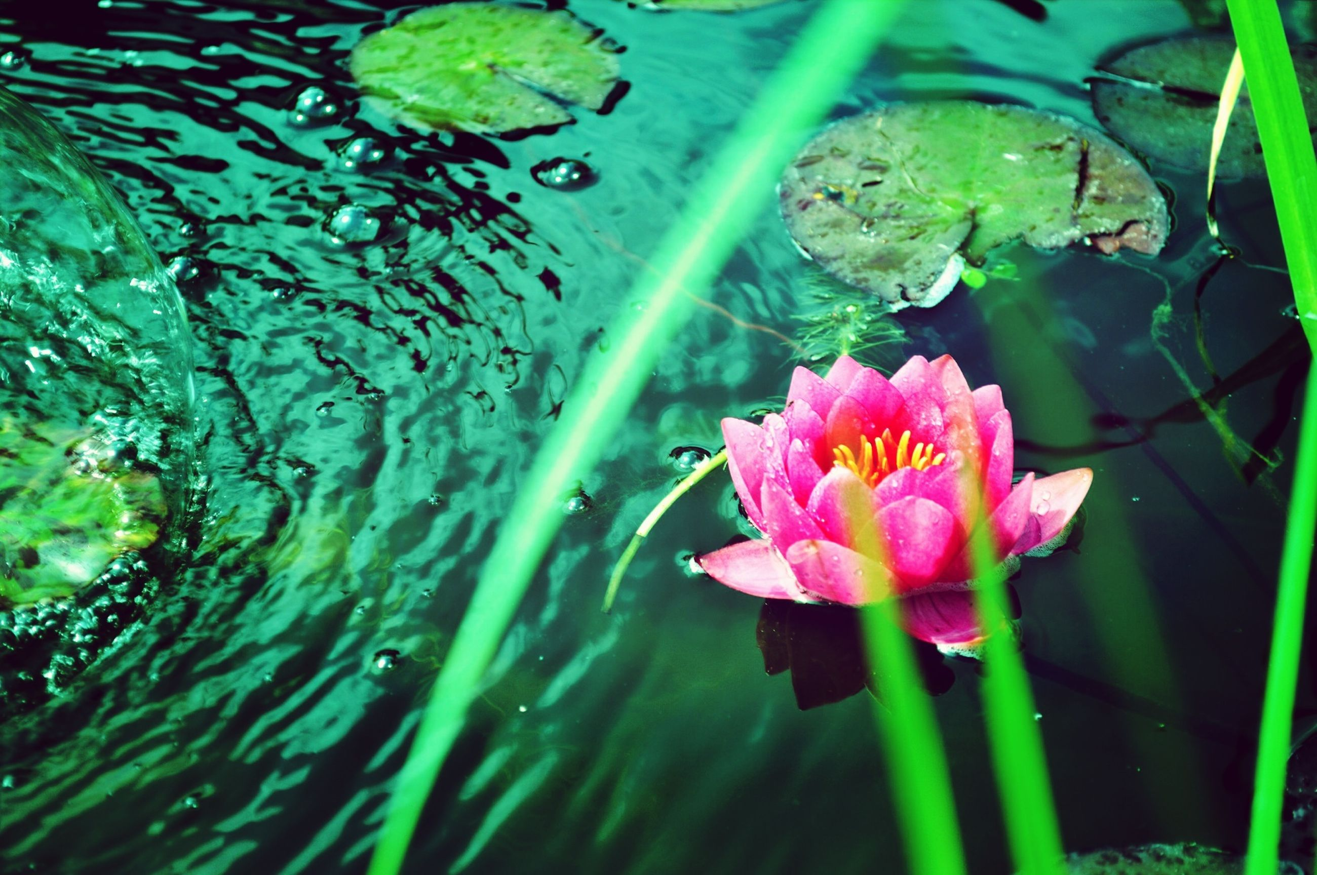 flower, freshness, fragility, petal, growth, water, leaf, beauty in nature, plant, flower head, pink color, nature, pond, blooming, green color, close-up, water lily, high angle view, in bloom, stem