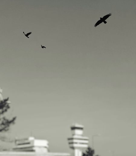 Airport Airport Tegel Animal Themes Animal Wildlife Animals In The Wild AntiM Bird Blackandwhite Crows Day Flying Flying Birds Mr.&Mrs.Crowley Nature No People One Animal Outdoors Sky Spread Wings