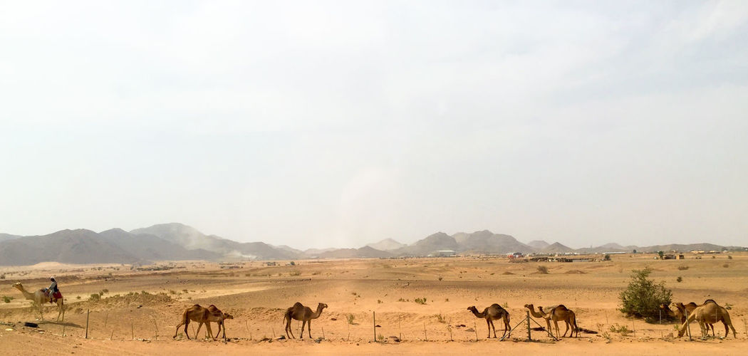 Animal Animal Themes Beauty In Nature Camels Check This Out Day Desert Desert Beauty Desert Environment Eyeemphoto Eyeemphotography Full Length Herd Landscape Mountain Range Nature Non-urban Scene Outdoors Sky Standing Tranquil Scene Tranquility