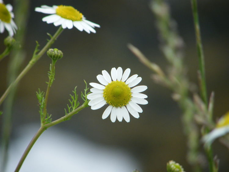 Beauty In Nature Blooming Close-up Coastal Flora Coastal Flowers Day Flower Flower Head Fragility Freshness Growth Nature No People Outdoors Petal Plant Seaside Seaside Flowers Daisies Daisy Flower Daisy Close Up Paint The Town Yellow