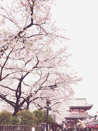 Sakura Sakura Blossom Kirschblüten  Kirschblüte Cherry Blossoms Cherry Blossom Pink Color Temple Asakusa Asakusa,tokyo,japan Tokyo Japan Photography Tokyo,Japan Tokyo, Japan Japan Ultimate Japan EyeEm Japan Japan Scenery Japanese Traditional Japanese Culture Japanese Temple Japanese Style Frühling Frühlingsblümchen Spring
